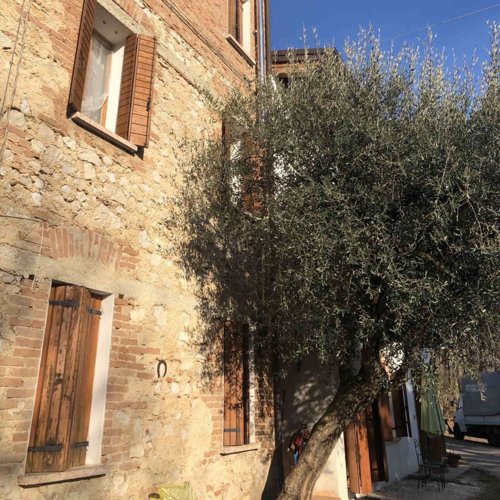Olive tree by the farmhouse entrance